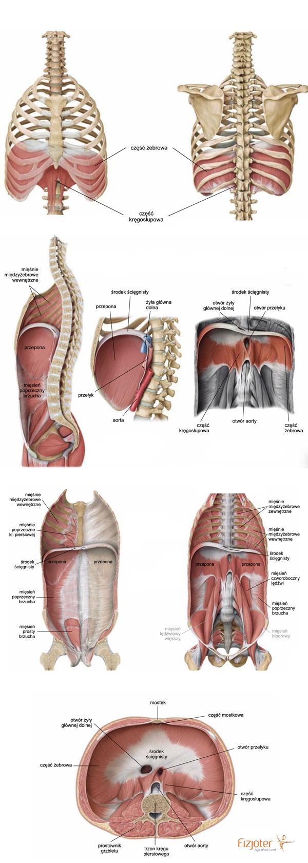 przepona anatomia